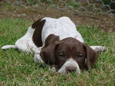 aww, there's just no comparison to the english pointer