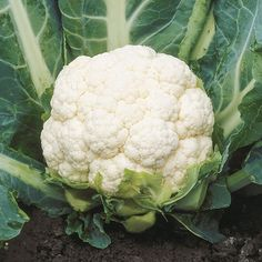 Steady Cauliflower This Hybrid variety is early and a consistent performer in many environments. The exhibit excellent internal wrap and produce heavy, dense, dome shaped heads. Cauliflower Vegetable, Small Plants, Planting Seeds, Growing Vegetables, At Least, Mai, Exhibit, Broccoli, Cabbage