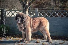 \u201cDelboy\u201d Ch Leokings Premiere Attraction @ Hillhaven Jun Ch, An Ch 13. CW 14            International Champion         second in open At Crufts  2015       4th Place in Champion class at                                           Leonberg 2015  #Leonberger #Leonberg #Hillhaven #Pet #Bear
