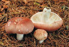 holubinka mandlová Enchanted Wood, Foggy Forest, Mushroom Fungi, Stuffed Mushrooms, Vegetables, Nature, Eyes, Food, Mushroom
