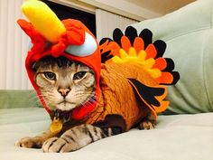 Adorable Turkey Cat | These 24 Cats Love Thanksgiving... Or At Least The Food