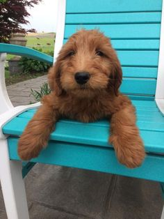 http://ift.tt/2pCWBsJ is Mello my two-month-old Goldendoodle!