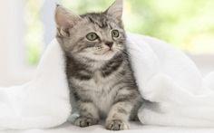 American Shorthair Kitten – Share your Emotion with Images Wallpaper Gatos, Kitten Wallpaper, Tier Wallpaper, Animal Wallpaper, Cute Cats And Kittens, Baby Cats, Kittens Cutest, Funny Cats, Funny Animals