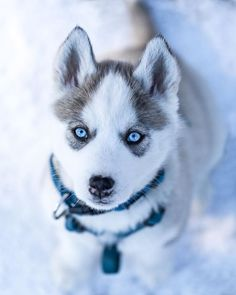 Wonderful All About The Siberian Husky Ideas. Prodigious All About The Siberian Husky Ideas. Cute Husky Puppies, Siberian Husky Puppies, Husky Puppy, Siberian Huskies, Lab Puppies, Huskies Puppies, Pomeranian Husky, Pomsky Puppies, Husky Breeds