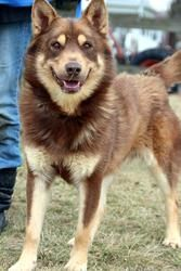 WOLFIE is an adoptable Husky Dog in Ashland, OH. WOLFIE CAME IN AS A STRAY, NO BACKGROUND INFORMATION. hE IS APPROXIMATELY 21/2 - 3 YEARS OLD, NOT CAGE TRAINED OR NEUTERED; WILL BE NEUTERED WHEN ADOPT...