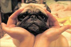 adorable eyes.. adorable pug