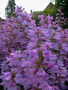 Penstemon 'Catherine de la Mare' (by entireleaves)