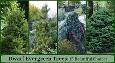 Dwarf Evergreen Trees: 15 Exceptional Choices for the Yard and Garden A perfect fit for small landsc Evergreen Trees Landscaping, Dwarf Evergreen Trees, Evergreen Landscape, Dwarf Trees, Evergreen Garden, Hillside Landscaping, Trees And Shrubs, Landscaping Design, Landscaping Borders