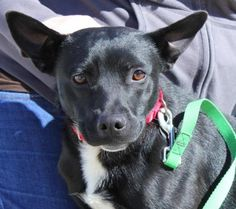 I'm an adorable 9 months old #Schipperke mix #puppy who enjoys hanging out with my favorite people. It takes me a little while to get comfortable with new people so my new owner will need to be patient with me so I can settle in at my own pace. Once I get to know you I'm a silly, sweet fella who is fun to be around. I walk nicely on a leash and I'm looking forward to lots of walks and hikes with my new family.  http://www.doggielife.com/KPTYFH