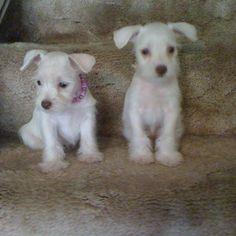 White Chocolate Toy Schnauzer Puppies