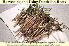 Colheita e Utilização Raízes Dandelion - Saiba mais sobre o melhor momento para cavar raízes de dente de leão, preservando as raízes de dente de leão, dente de leão e de raiz remédios caseiros.