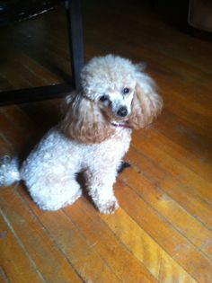 Apricot Toy Poodle: Ruby Fierce