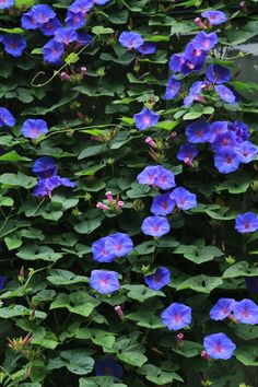 Morning Glory Flowers, Clematis, Vines, Plants, Inspiration, Morning Glories, Flowers, Greek Chorus, Biblical Inspiration