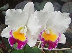 Hawaiian Flowers Orchid
