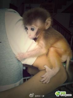 I wonder if the cottages of boone would allow this guy!! a wittle pet monkey