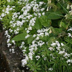 Buy sweet woodruff Galium odoratum: Delivery by Crocus