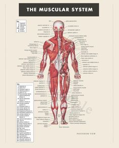 Human organs diagram back view health and wellbeing pinterest digital print instant download muscular system anatomy doctor physical therapist art ccuart Choice Image