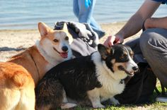 Rule 5: Be extra nice to the humans. | 9 Rules For A Really Big Corgi Meetup At TheBeach