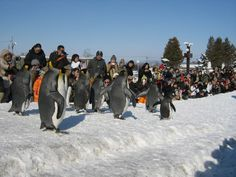 Amazing Penguin Parade in Asahikawa Zoo, Hokkaido