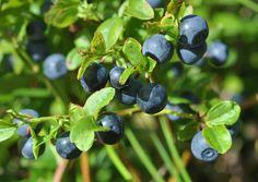 Blueberry - Mustikka. Suomen Luonto