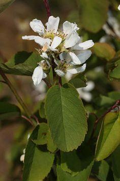 Amelanchier alnifolia semiintegrifolia Pacific Serviceberry