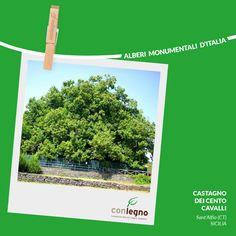 Castagno dei Cento Cavalli #trees #italy