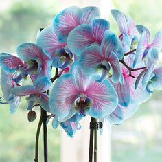 Pink & Blue Wonder Orchid #beautifulflowerspictures