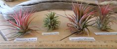 Four different Ionantha air plants for under 9 by LazyRsAirPlants, $8.99