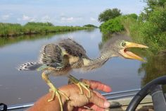 """clayorey: """"Wonder what happened to the dinosaurs? This is a baby Blue Heron."""" ...  pipistrellus: """"put that thing back where it came from or so help me."""" ... ciarachimera: """"I feel like this is an accurate representation of what I looked like going through my extended awkward phase 6th-11th grade in school."""" ... xtoxictears: """"Omfg I love how ugly baby birds are XD"""""""