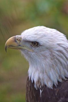 Birds of Prey - Raptor - Beautiful portrait of Bald Eagle.