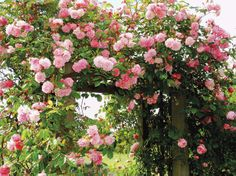 old garden roses | ... old-fashioned rambling rose, and your garden will be filled with sweet