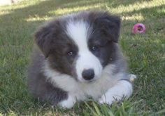 Blue long hair Border Collie puppy