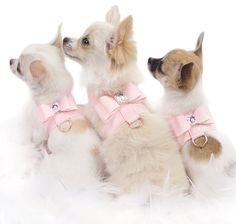 chuahuas | cute group photo of 3 chihuahuas wearing the new ultraseude pink ...