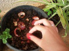 Como Plantar Lichia em Vaso Passo a Passo