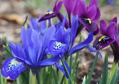 Lady Beatrix Stanley Iris on the left and George Reticulated Iris on the Right at Red butte Garden in March