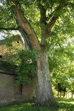Walnut tree (orech)