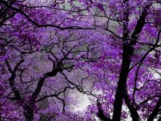 Jacaranda...I love this tree!