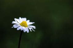 Dark daisy - null