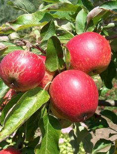 Apple Madresfield Court for sale. Buy organic Madresfield Court apple tree