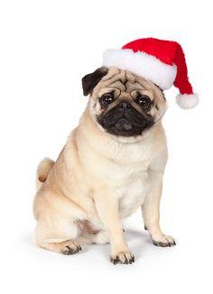 DOG 05 RK0423 01 © Kimball Stock Pug Sitting On White Seamless Wearing Santa Hat