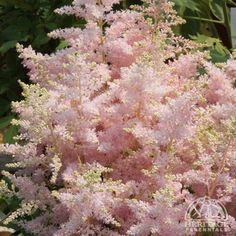 Astilbe Younique Silvery Pink™
