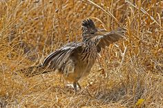 I briefly detained this very thirsty Greater Roadrunner (Geococcyx californianus), on its way to the Lampasas River for a drink, during a record-breaking heat wave and the worst Texas drought in more than 50 years.