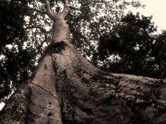 L'arbre qui cache la forêt. Cambodge, temples d'Angkor, juillet 2013