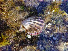 Bractechlamys corallinoides es un tipo de venera (nombre común para los bivalvos de la familia Pectinidae) de El Médano (en el sur de Tenerife)