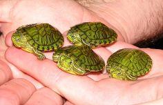 Hatchling Red-eared Sliders - so cute! Cute Baby Turtles, Sweet Turtles, Box Turtles, Ninja Turtles, Baby Red Eared Slider, Red Eared Slider Turtle, Nature Animals, Baby Animals, Cute Animals