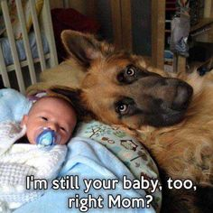 Wicked Training Your German Shepherd Dog Ideas. Mind Blowing Training Your German Shepherd Dog Ideas. Cute Funny Animals, Funny Animal Pictures, Dog Pictures, Funny Dogs, Animals And Pets, Baby Animals, Cute Puppies, Cute Dogs, Tierischer Humor