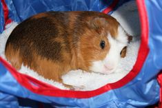 10 tricks get guinea pig interacting family, ways to get your guinea pig with your family more making happier kids and happier guinea pigs. Indoor Rabbit Cage, Rabbit Cages, Guinea Pig Food, Pet Guinea Pigs, Animals For Kids, Cute Animals, Guinea Pig Accessories, Guinea Pig Bedding, Cute Piggies