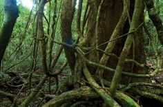 A new field guide untangles identification of tropical vines