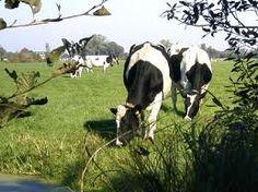 cows...