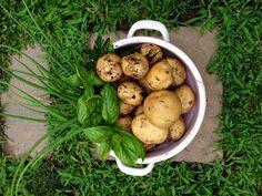 Potatoes, herbs